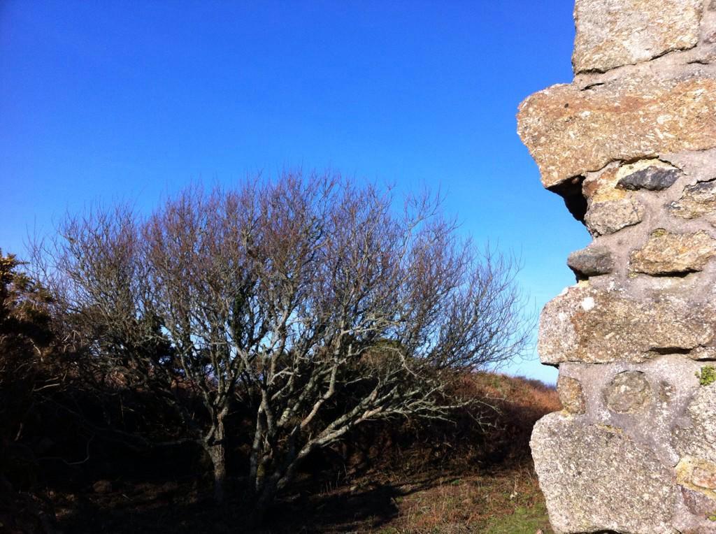 tree at carn galver cornwall