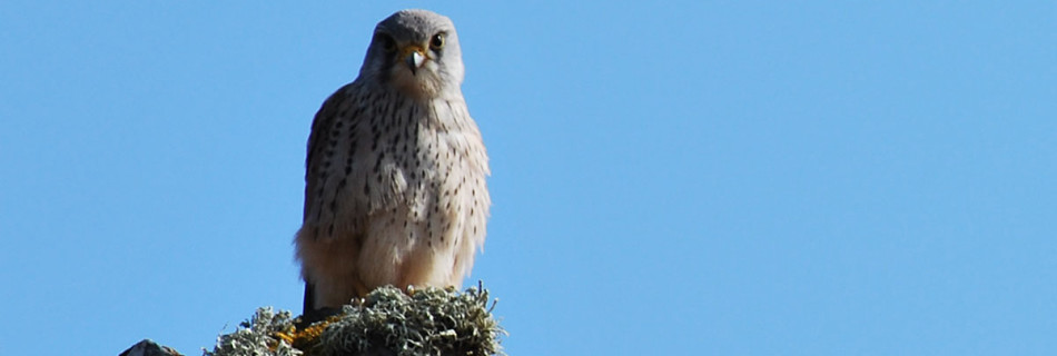 Kestrel at Kynance Cove