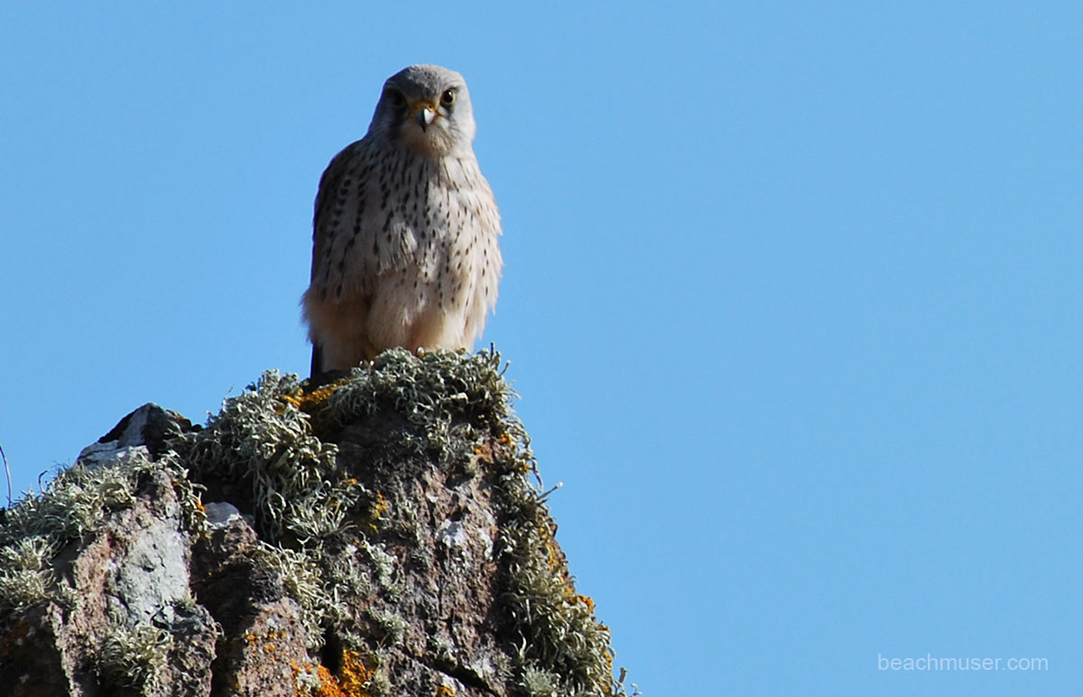 Kestrel Forward Facing