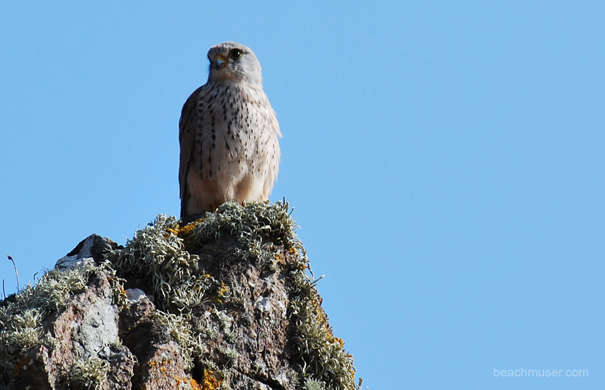 Kestrel Side Facing