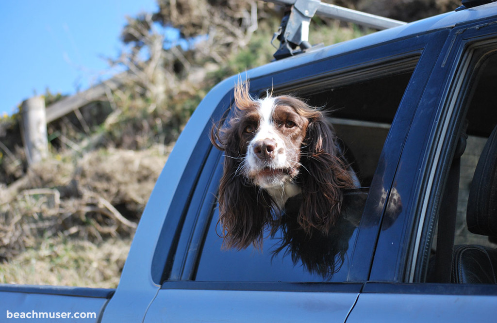 Kynance Cove Dog out of Car Window