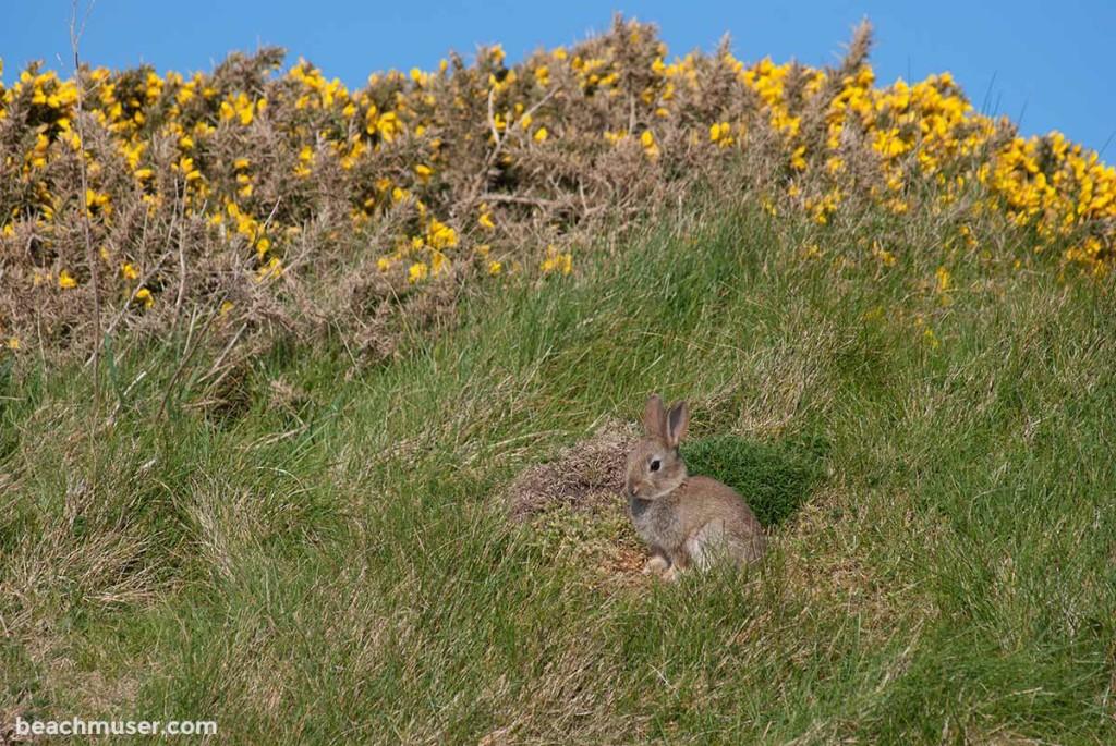 Botallack Bunny Grass