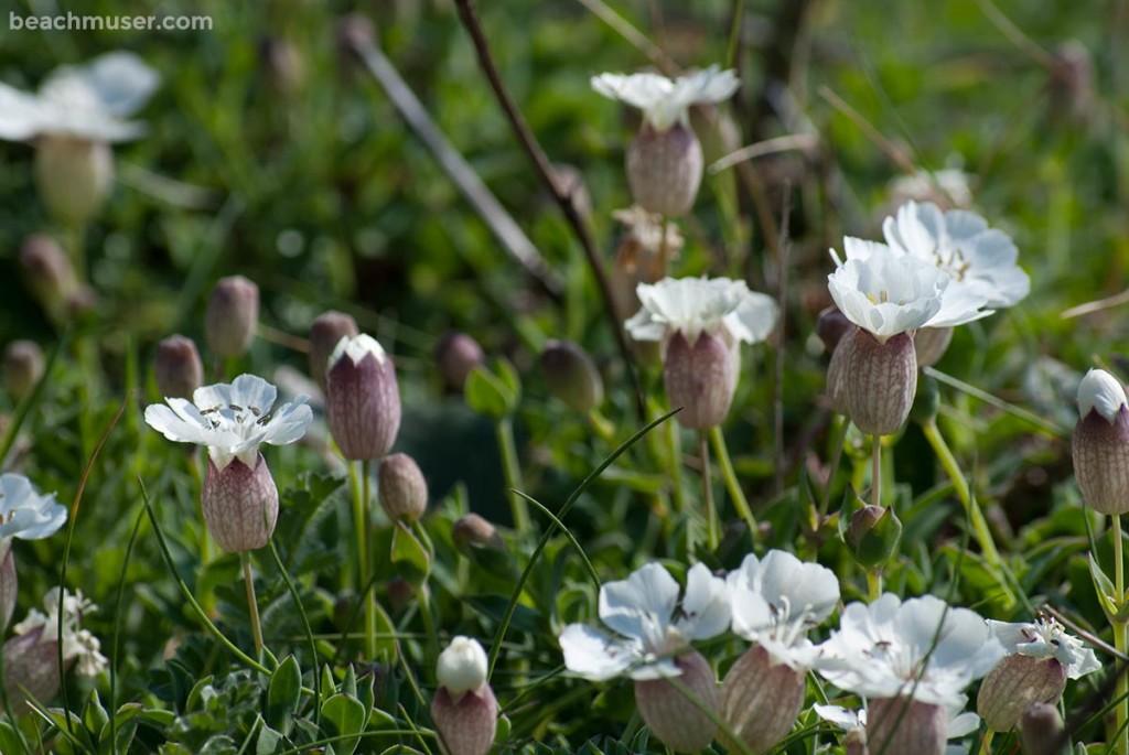 Botallack White Flowers