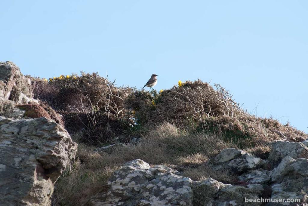 Cape Cornwall Birdie