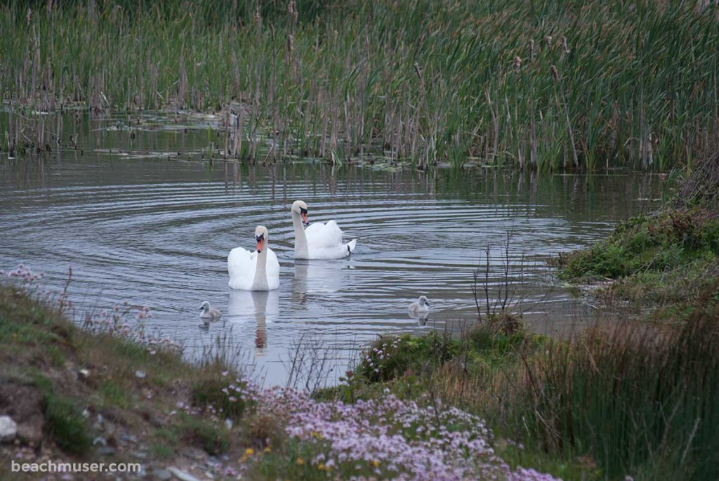 Gwithian Towans Swan Family Reeds