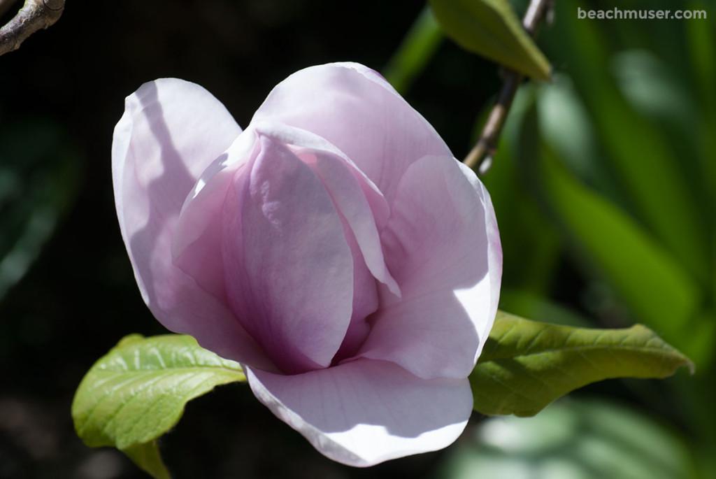 Heligan Gardens Pink Magnolia